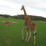 See all the wildlife on a Monarto Zoo Tour
